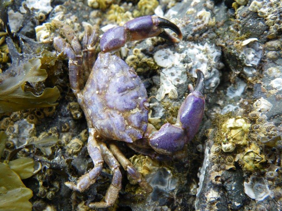 Black clawed crab