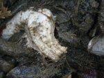 white sea cucumber